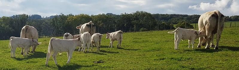 Florent Veret - vaches allaitantes -XR Repro